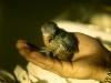 Guaiabero Parrot Chick