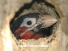 Bearded Barbet Chick