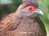 v116n1-female-salvadoris-pheasant