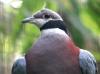 v116n3-collared-imperial-pigeon-ducula-muelleri