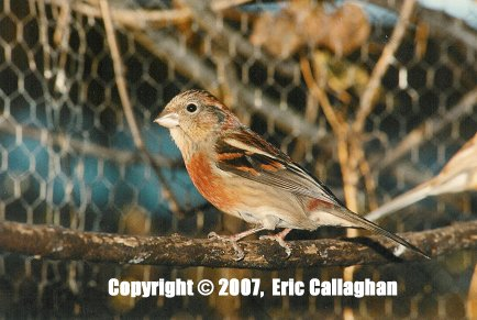 Female Three-Banded Rosefinch
