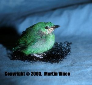 v109n1-blue-winged-leafbird-19-days