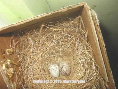 Turquoise Tanager Nest With Eggs