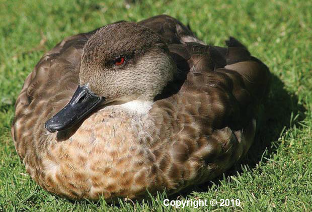 v116n1-crested-duck-anas-specularioides-alticola