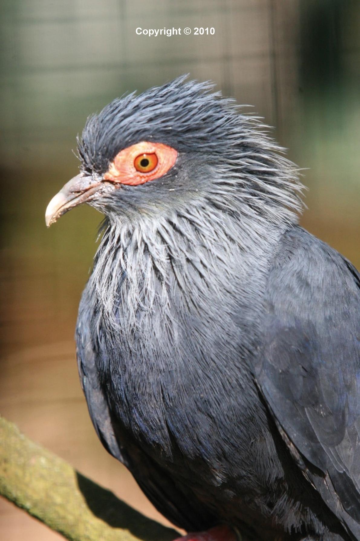 v116n3-madagascar-blue-pigeon-alectroenas-madagascariensis